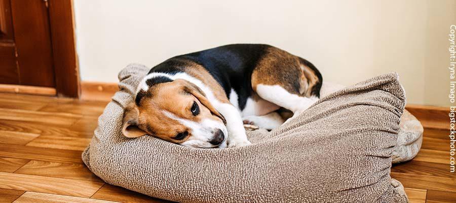 Tragegurte für ältere Hunde