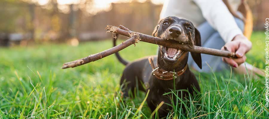 Haltung eines Hundesenioren