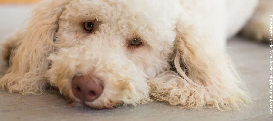 Mundgeruch bei älteren Hunde